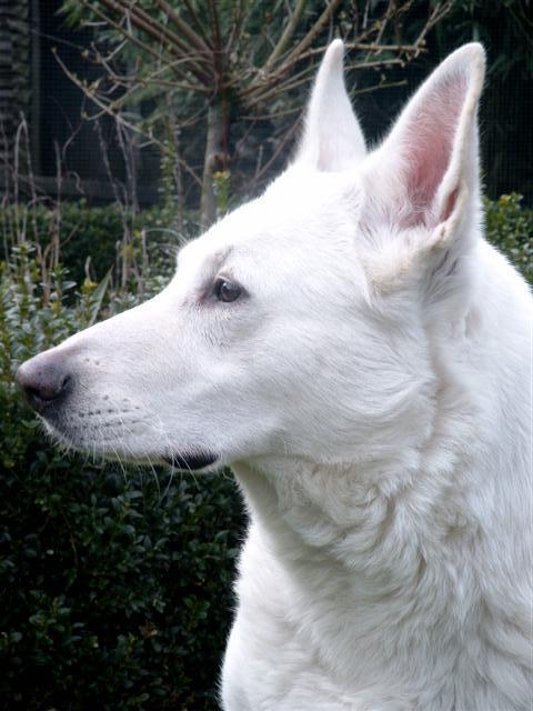 Sasja, de witte herder van Luc